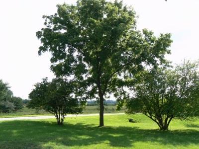 Miejsca do uprawy drzewa orzecha czarnego