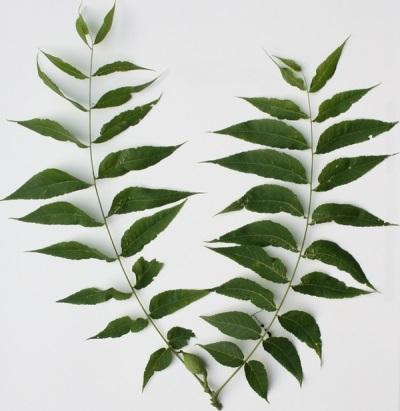 Niektóre cechy liści czarnego orzecha włoskiego