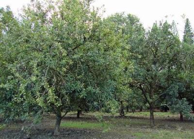 Macadamianussbaum