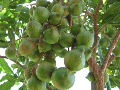 Wissenswertes über Macadamia