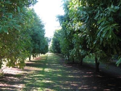 Macadamia wächst in ariden Gebieten, am häufigsten in Australien und Südafrika