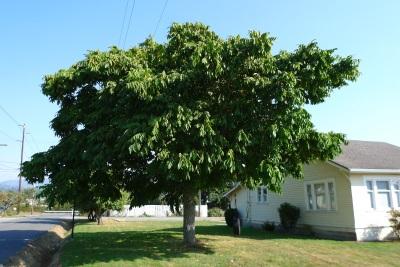 Манджурският орех расте добре в умерен климат