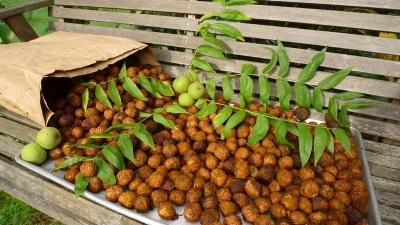 Манджурският орех има редица полезни свойства за организма.