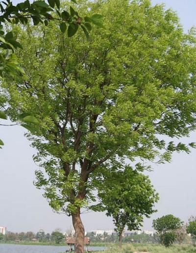 Манджурски дърво