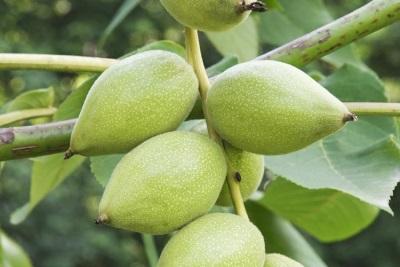 Манджурски плодове