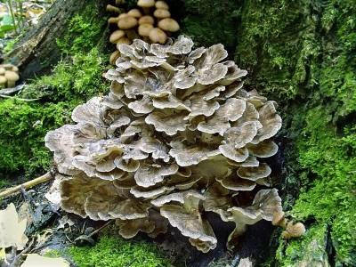 Μανιτάρια Meytake (μανιτάρι ή μανιτάρι)