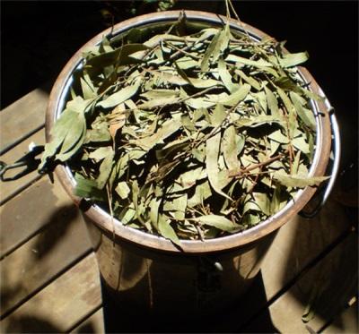 Przygotowanie nalewki z eukaliptusa