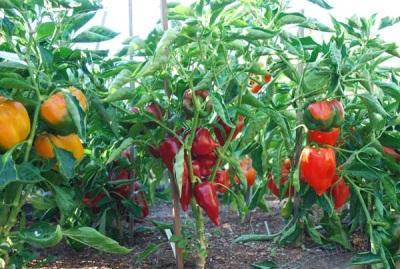Paprika yang sedang berkembang