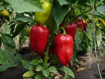 Penjagaan tumbuhan Paprika