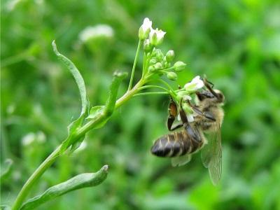 La bolsa de pastor es una buena planta de miel.