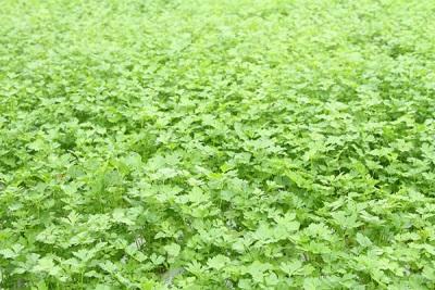 Plantaciones de perejil