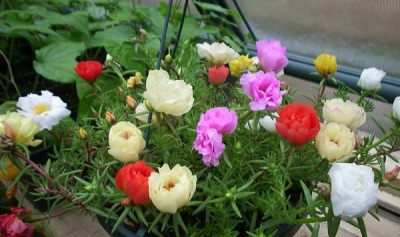 Portulaca növényvédelem