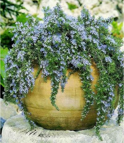 Flores de romero azul