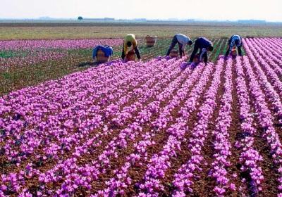 Plantaciones de Azafrán en España