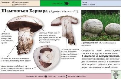 Cogumelo da estepe ou Bernard Champignon