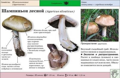 Cogumelo da floresta