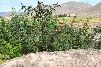Penyebaran lada Sichuan