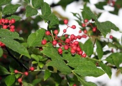 Pimenta Sichuan pertence à família Ruta
