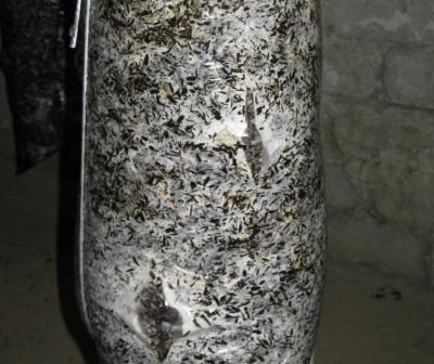 Austernpilzmyzel legen und Blöcke für die weitere Kultivierung vorbereiten