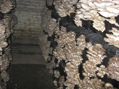 Ernte von künstlich angebauten Austernpilzen