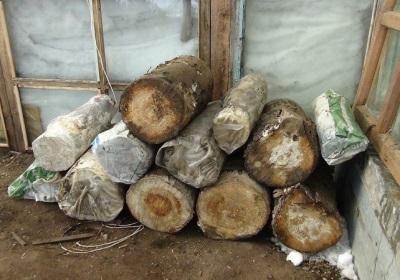 Aussaat des Myzels auf den Baumstämmen und deren Vorbereitung für den Anbau von Austernpilzbrut