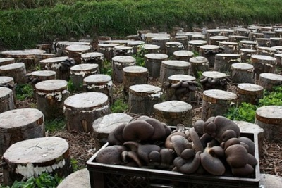 Φύτευση κούτσουρων στο έδαφος για την καλλιέργεια μανιταριών στρειδιών
