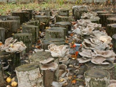 Geerntete Austernpilze, künstlich auf Stümpfen und Baumstämmen angebaut