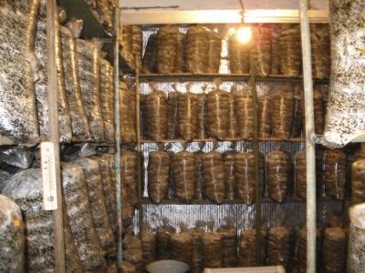 Die Inkubationszeit für Austernpilze dauert bis zu 25 Tage