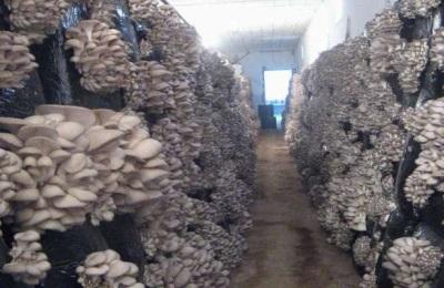Vor- und Nachteile der intensiven Methode, Austernpilze anzubauen