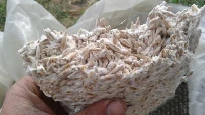 Στρείδι μυκηλίου