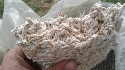 Ostryga z grzybni