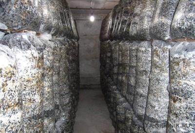 Sala upraw Oyster