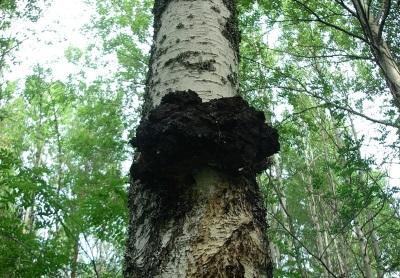 Chaga-Pilz wächst auf Birken