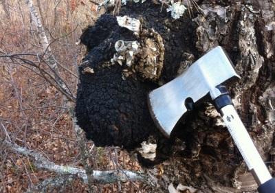 Methode zum Sammeln von Chaga-Pilzen