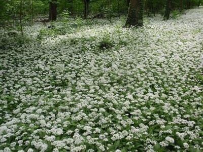 Blühender Bärlauch