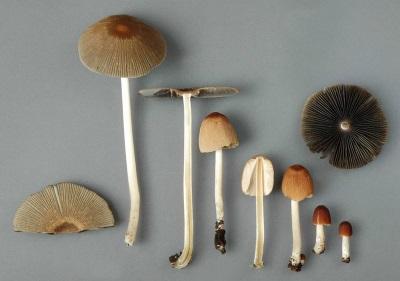 Los hongos de los hongos tienen una composición química valiosa