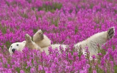 Ivan Tea en el Ártico