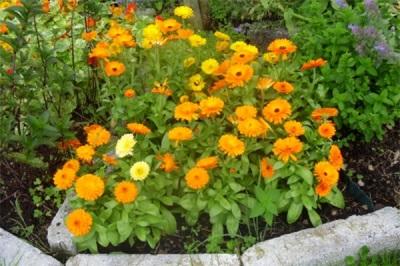 Körömvirág a kertben