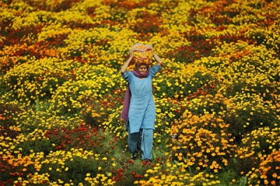 Körömvirág mezők Indiában