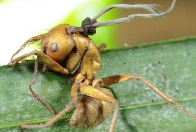 Кордицепс на мравки