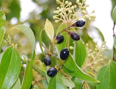 Hedelmät, kukat ja lehdet kanelipuusta