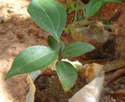 Kasvava kanelipuu