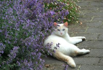 Catnip gato e gato