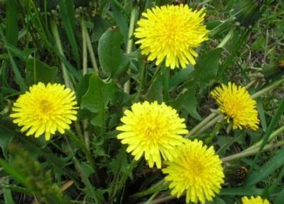 Diente de león flores y hojas