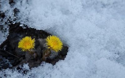 Pirmosios pavasario gėlės atsistoja