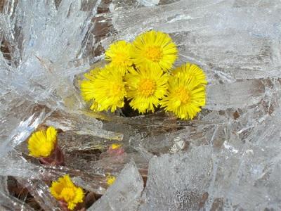 Gėlės išsitraukia ant Baikalo