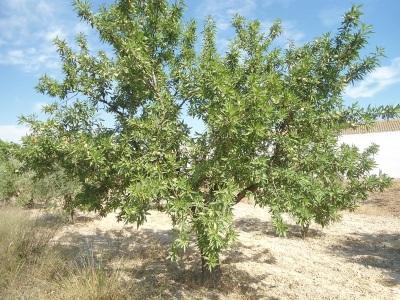 Mandelbaum