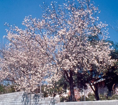 California Almond Tree