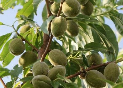 Mandelfrüchte