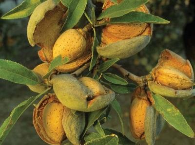 Mandelbaum Nüsse
